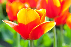 Some beautiful tulips. With green leaves Royalty Free Stock Image
