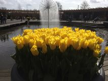 Tulips. Some beautiful yellow tulips to color your life Stock Images
