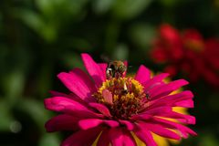 Some bee collect nectar. On spring season many flower blossom, and many animal collect royalty free stock image