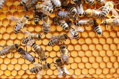 Some bees on cell Royalty Free Stock Image