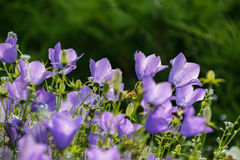 Some bellflowers on the summer meadow. Some bellflowers on the meadow stock photography