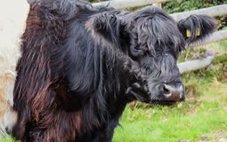 Belted Galloway Cattle, Cannock Chase Stock Photo