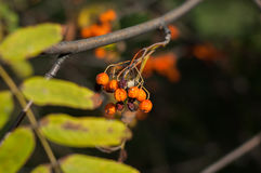 Some berries of mountain ash. In the autumn on a green background stock photo