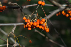 Some berries of mountain ash. In the autumn on a green background royalty free stock photography