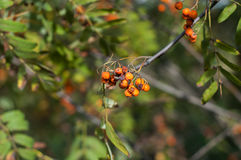 Some berries of mountain ash. In the autumn on a green background Stock Image