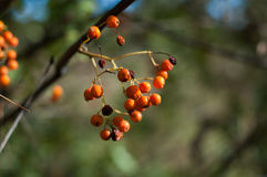 Some berries of mountain ash. In the autumn on a green background Stock Images