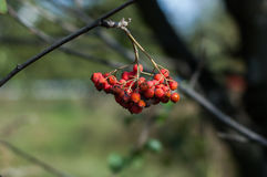 Some berries of mountain ash Royalty Free Stock Image