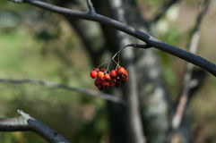 Some berries of mountain ash. In the autumn on a green background Royalty Free Stock Images