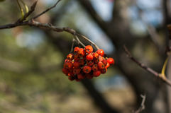 Some berries of mountain ash. In the autumn on a green background Royalty Free Stock Image