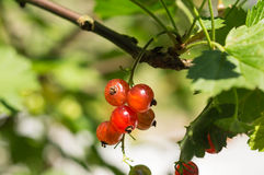 Some berries of red currant. In a summer garden Stock Image