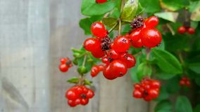 Some berries in wellingborough england. Some red berries in UK in city wellingborough royalty free stock photo
