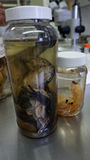 Conserved species. Some biological samples in plastic bottles in a laboratory in mexico, a big frog body conserved in some liquid and two big shrimps also royalty free stock images