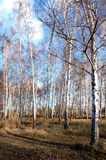 Some birches in the forest. Several birch trees in the forest on a clear day royalty free stock photos