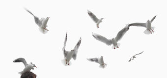 Some birds, pigeons isolated Stock Photos