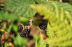 Some blackberries. Green shrub growing Stock Photography