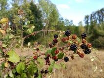 Sweet blackberries. Some blackberries ready to be eaten Stock Photos
