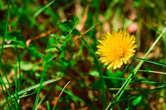 Some blooming dandelion on blurred green background Stock Photo