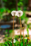 Some blooming dandelion on blurred green background Royalty Free Stock Images