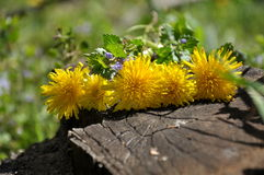Some blooming dandelions. Close up Stock Photos