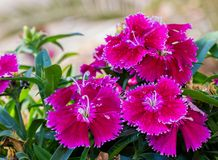 Some blooming Turkish red carnations on the background of green leaves royalty free stock photography