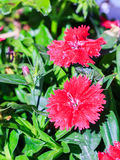 Some blooming Turkish red carnations. On the background of green leaves Stock Images