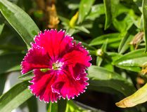 Some blooming Turkish red carnations on the background of green leaves stock photos