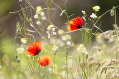 Some blossoming poppies. Among a grass Royalty Free Stock Images
