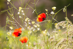 Some blossoming poppies. Among a grass Royalty Free Stock Photo