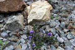 Some blue violets between the stones is a wonderful landscape. Some blue violets and green grass on the stones are growing in spite of everything Royalty Free Stock Photos