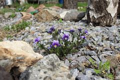 Some blue violets between the stones is a wonderful landscape. Some blue violets and green grass on the stones are growing in spite of everything Stock Image