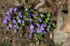 Some blue violets between the stones is a wonderful landscape. Some blue violets and green grass on the stones are growing in spite of everything Royalty Free Stock Images