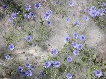 Some blue wild flowers Stock Image