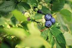 Some blueberries on bush. Summer sunny day royalty free stock images