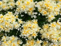 Some bouquets of garden daffodils royalty free stock photos
