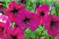 Some bright purple petunia flowers. In the garden Stock Photography