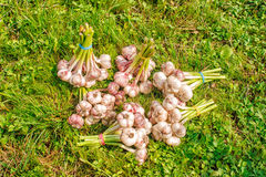 Some bundles of garlic lying on the grass. Some bundles of garlic lying on the green grass on summer day closeup royalty free stock photos