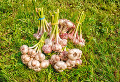 Some bundles of garlic lying on the grass. Some bundles of garlic lying on the green grass on summer day closeup stock photography