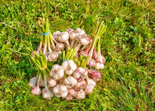 Some bundles of garlic lying on the grass. Some bundles of garlic lying on the green grass on summer day closeup stock photos