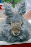 Gray angora rabbit Royalty Free Stock Image