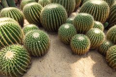Cactus. Some cactus in the desert Royalty Free Stock Image