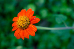 Some calendula flower Stock Images