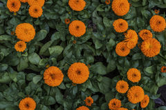 Some calendula flowers Royalty Free Stock Photos