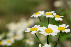 Some camomiles in a garden. Close up stock photo