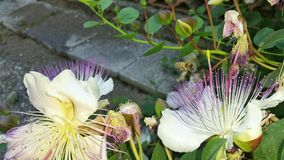Some caper flowers in the garden and a bee. Some caper flowers in the garden details royalty free stock photos