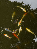 Some carp in the pond. A lot of colorful red and yellow carp something floating in a pond and leaves reflected in the mirrored surface of the water Royalty Free Stock Images