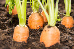 Some Carrots in the dirt Stock Photos