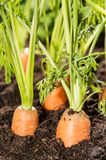 Some Carrots in the dirt. (macro shot Royalty Free Stock Photography