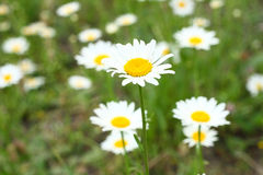 Some chamomile closeup. A few chamomiles closeup in a bright field Royalty Free Stock Images