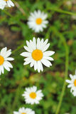 Some chamomile closeup. A few chamomiles closeup in a bright field Royalty Free Stock Photos