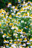 Some chamomile flowers. Chamomile flowers in a field in the spring Royalty Free Stock Photo